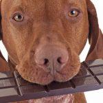 Schokolade ist kein Futter für Hunde
