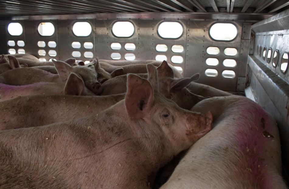 Wenn man es vermeiden kann, sollte man nicht auch noch mitverantwortlich für Tierleid sein. Mit billigem Tierfutter fördert man das Tierleid. (#1)