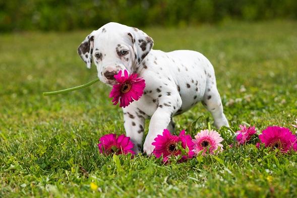 Mir würde bei diesem hübschen Dalmatinerwelpen promt der Name Pünktchen einfallen. (#02)
