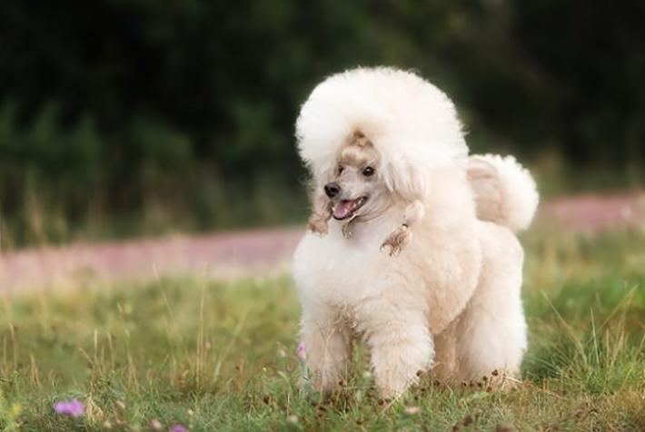 Dieser weibliche Hundename ist doch sehr treffend für eine so hübsche Pudeldame. (#05)