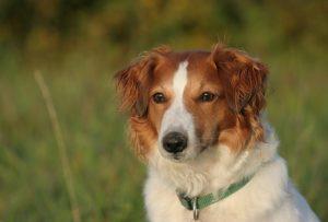 #6 Deutsche Hunderassen: der Kromfohrländer.