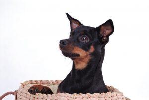 #3 Deutsche Hunderassen: der Rehpinscher