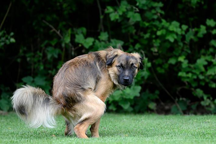 Verschlechtert sich der Stuhlgang nach der Schonkost und der Durchfall beim Hund tritt erneut auf, kann es am Normalfutter liegen. (#4)