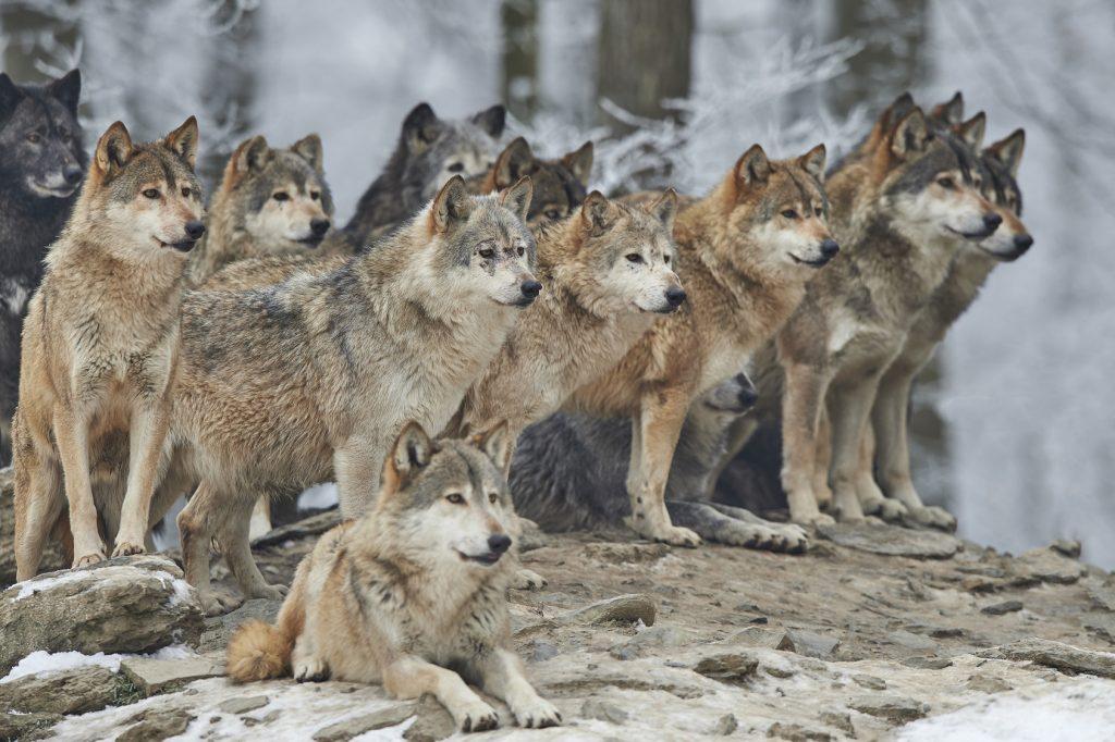 Ein Rudel Wölfe im Winter: Auch wenn der Hund vom Wolf abstammt, bellt nur der Hund. (#1)