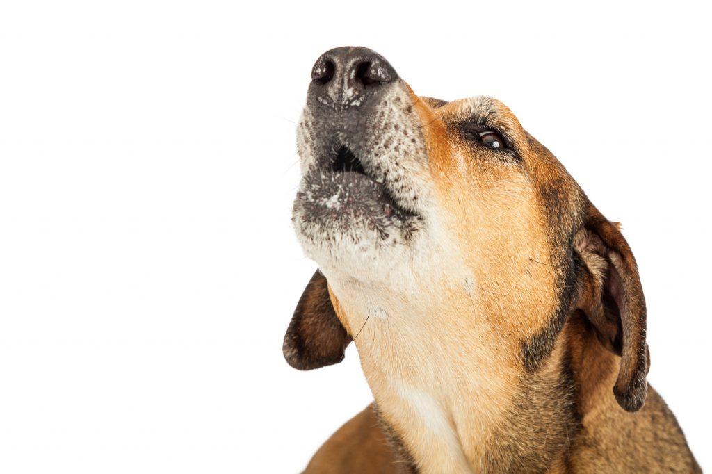 Warum heulen Hunde? Welche Bedeutung hat das Heulen für den Hund? (#01)