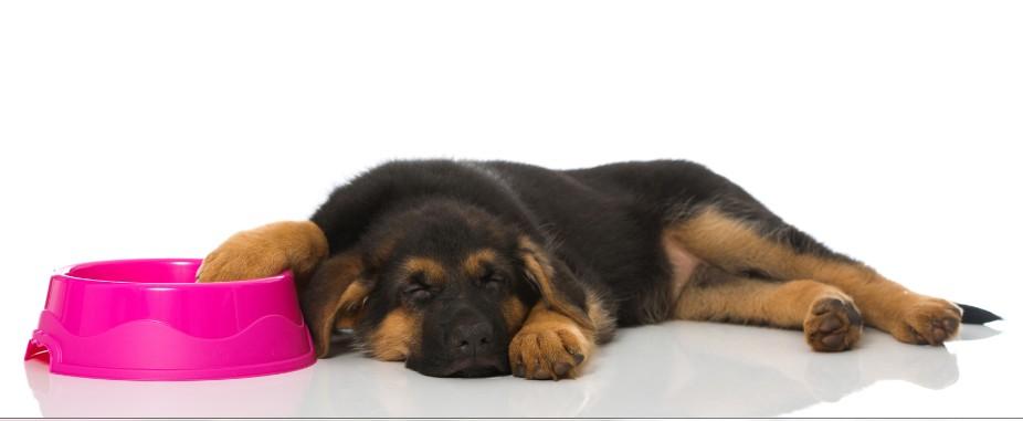 Welches Hundefutter ist besser für einen Welpen? Trocken oder nass? Oder gar barfen?