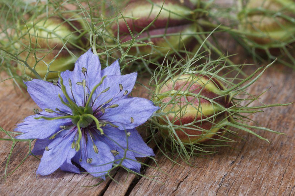 Nigella Sativa – auch echter Schwarzkümmel genannt - trägt weiße bis bläuliche Blüten (#01)