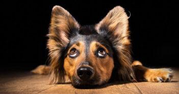 Mittelohr Verletzung beim Hund: Ursache, Symptome & Behandlung