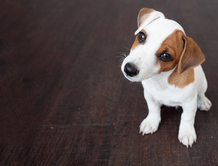 Impfung bei diesem kleinen Hund ja oder nein: Es will gut überlegt sein.