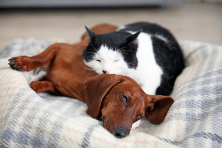 Eine Decke mit dem Geruch der Katze kann also in den Hundekorb gelegt werden und andersherum. Somit gewöhnen sich Hund und Katze bereits vor der Ankunft des neuen Rudelmitglieds an dessen Duft.(#02)