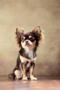 Rassehunde: Der Chihuahua #1