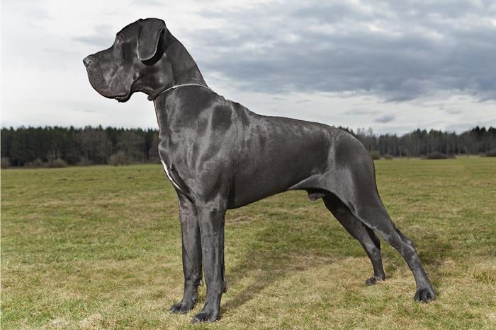 Rassehunde: Die deutsche Dogge #2