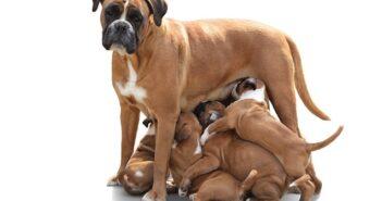 Rüde oder Hündin? – Was man als zukünftiger Hundebesitzer wissen sollte
