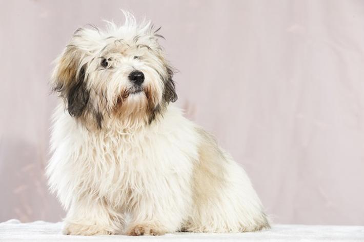 Zu den bekanntesten Vertretern, gehört der so genannte Baumwollhund. (#03)