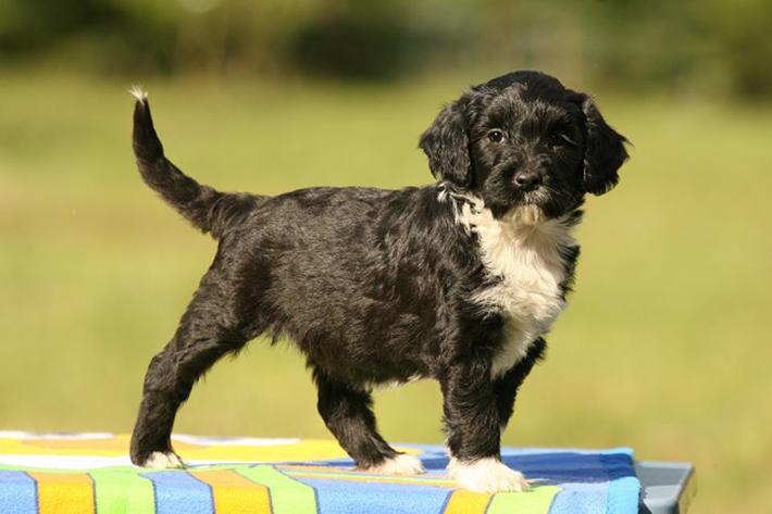 Wasserhunde wurden aber nicht nur als Begleiter der oberen Zehntausend bekannt, sondern auch durch ihre Allergikerfreundlichkeit. (#01)