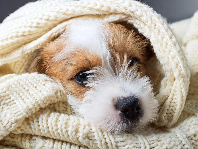 Hund kuschelt unter der Decke. (#04)