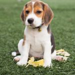 Beagle: Charakter, Haltung & Erziehung