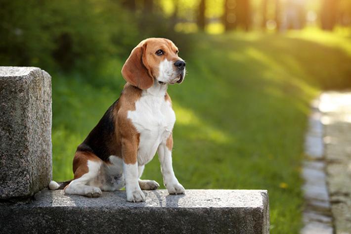 Die persönliche Wohnsituation sollte also unbedingt mit den Haltungsbedingungen für den Beagle zusammenpassen, wenn man sich einen solchen Vierbeiner kaufen möchte. Wohnt man allein und ist berufstätig, ist der gesellschaftsfreudige Hund eher die falsche Wahl. (#05)