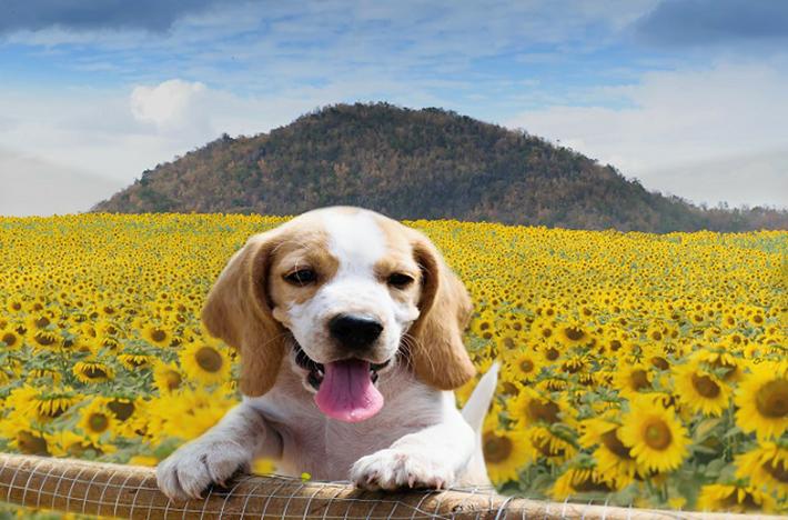 """Das """"normale"""" Gassi gehen reicht bei diesen Hunden nicht aus. Daher sollte man zwei wichtige Voraussetzungen mitbringen, die für eine optimale Beagle-Haltung dringend erforderlich sind: ausreichend Platz und relativ viel Zeit . (#04)"""