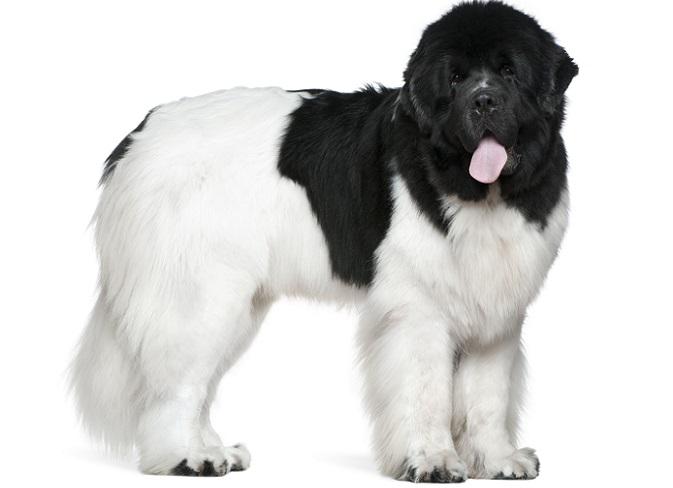 Auch zur Abschreckung, z.B. von möglichen Einbrechern, eignet sich der Hund besonders gut. Denn obwohl er sehr zahm und liebenswert ist, wirkt natürlich gerade seine mächtige, dunkle Erscheinung besonders Respekt-einflößend. (#04)