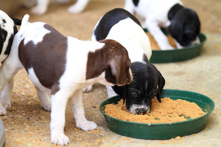 Hunde, die ihr Futter schlingen, sind häufiger übergewichtig. Sie spüren weniger schnell, dass sie satt sind, weil sich auch bei ihnen das Sättigungsgefühl erst einige Zeit nach der ersten Nahrungsaufnahme einstellt. (#02)