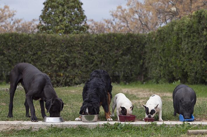 """Wer mehrere Hunde hält, sollte diese unbedingt getrennt voneinander füttern – von Anfang an. Haben sich die Tiere das Schlingen erst einmal angewöhnt, helfen oft nur die oben genannten """"Zwangsmaßnahmen"""" über das Verkleinern des Napfes. (#03)"""