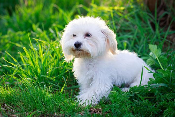 Was der Malteser nicht (oder besser gesagt: weniger als andere Hunderassen) an Auslauf braucht, benötigt er in Sachen Pflege seines prägendsten Erscheinungsmerkmals: des Fells. Dieses bedarf einer besonders reinlichen, aufmerksamen Pflege. (#04)