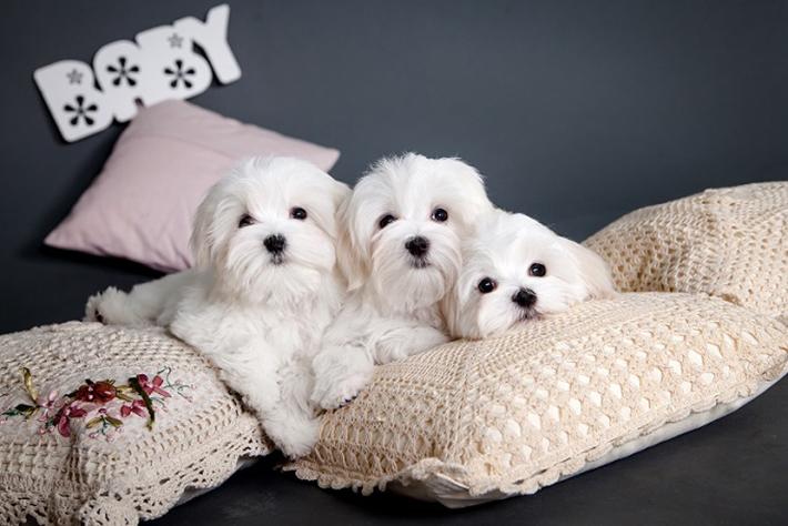 Der Malteser ist eigentlich der ideale Hund für die kleine, gemütliche Stadtwohnung. Das – wenn möglich – tägliche Gassi gehen ist auch bei diesem Hund natürlich Pflicht. Nur muss er nicht täglich mehrmals an die frische Luft.(#05)