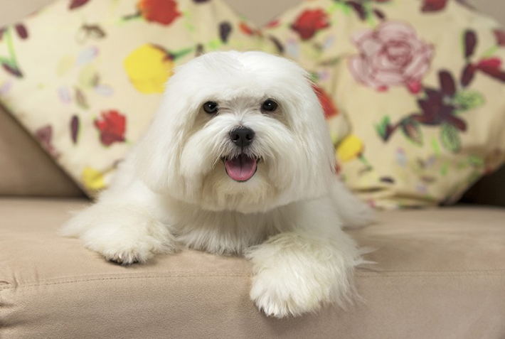 Der Malteser genießt einen Ruf als höchst widerstandsfähiger und robuster Hund, heißt: den Hunden kann so schnell nichts etwas anhaben. Er gilt allgemein als gesunder Vierbeiner, der nicht übermäßig von Krankheit oder gesundheitlichen Problemen gezeichnet ist. (#03)