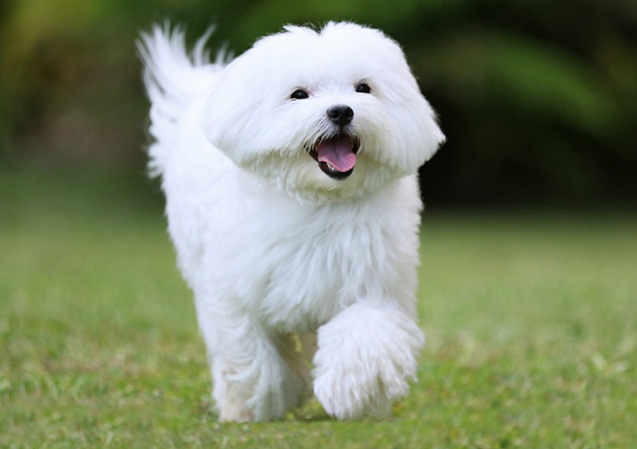 Früher galt der Malteser vor allem als Hund für vornehme, adelige Damen, die ihn sich als Schoßtier hielten. Inzwischen gehören die intelligenten Vierbeiner zu den beliebtesten Hunden für die Familie. Im Gegensatz zu anderen Rassen brauchen sie wenig Auslauf, aber: das Fell muss besonders gepflegt werden. (#01)
