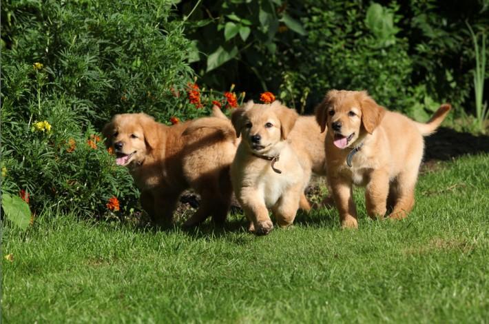 Wer sich für einen Hovawart als Hund entschieden hat, der erkundigt sich am besten bei einem eingetragenen Züchter nach Welpen. (#1)