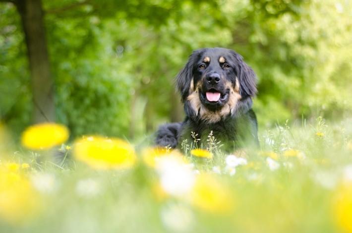 Der Hovawart liebt Spaziergänge - aber hier sollte man seinen Hund genau kennen. Hovawarts neigen dazu, ihr Revier zu verteidigen - also immer gut überlegen, wann man ohne Leine unterwegs sein kann. (#4)