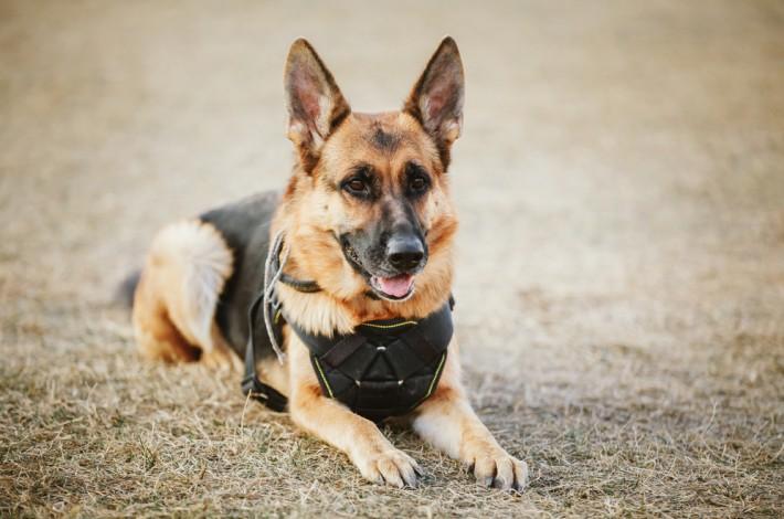 """Der Deutsche Schäferhund wird weltweit als Diensthund eingesetzt. Beispielsweise bei der Polizei als """"Schutzhund"""" oder dem Zoll als """"Rauschgift- oder Sprengstoff-Suchhund"""" (#3)"""