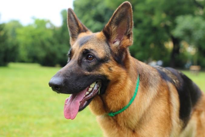 Deutsche Schäferhunde werden mit unterschiedlichen Fellarten gezüchtet. Es gibt das sogenannte Stockhaar und das Langstockhaar. (#4)