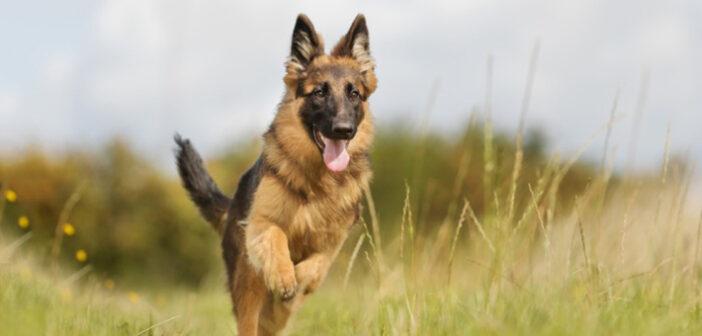 Deutscher Schäferhund: Hunderasse im Detail