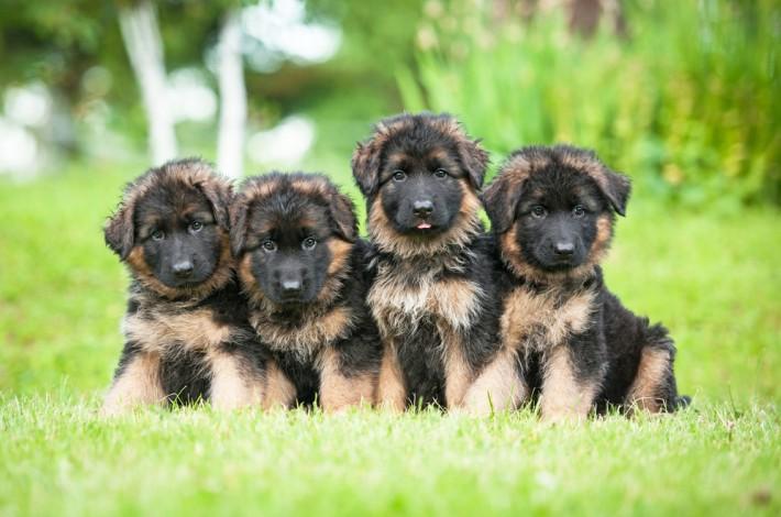 Deutsche Schäferhund Welpen sehen besonders niedlich aus. Vor einem Kauf muss man sich dennoch gut über die Rasse und das Wesen der Hunde informieren. (#1)