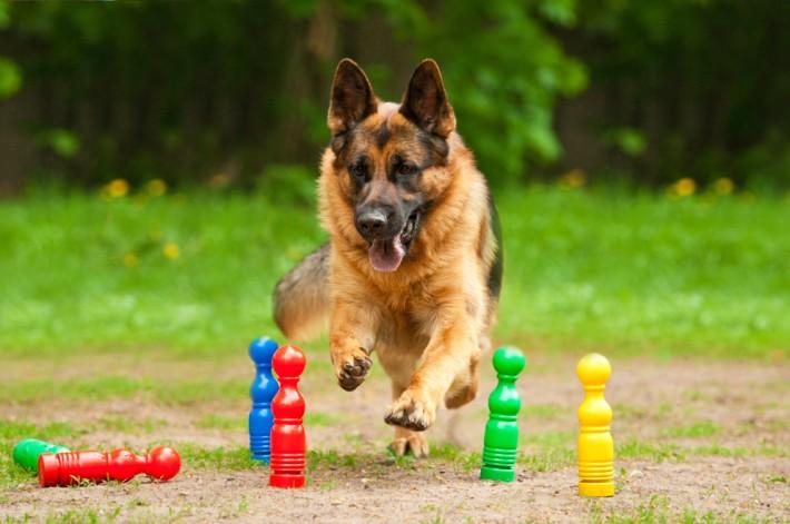 Der Deutsche Schäferhund ist eine äußerst beliebte Hunderasse in Deutschland, obwohl er eine fundierte und erfahrene Erziehung benötigt und ausreichend beschäftigt werden muss. (#2)