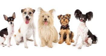 Kleine Hunderassen: Übersicht und Kaufempfehlung