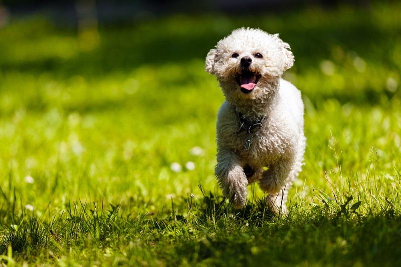 Der Bichon Frise ist eine empfindliche kleine Hunderasse.(#03)