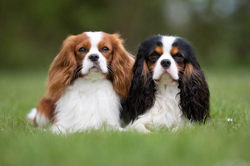 Für einen Wachhund ist der Cavalier King Charles Spanieler nämlich schlicht zu freundlich.(#04)