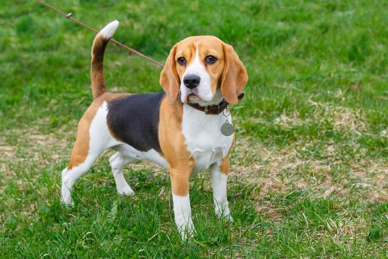 Wenn Sie sich einen Beagle anschaffen wollen, müssen Sie sich darüber im Klaren sein, dass er eines gar nicht leiden kann: alleine sein.(#01)