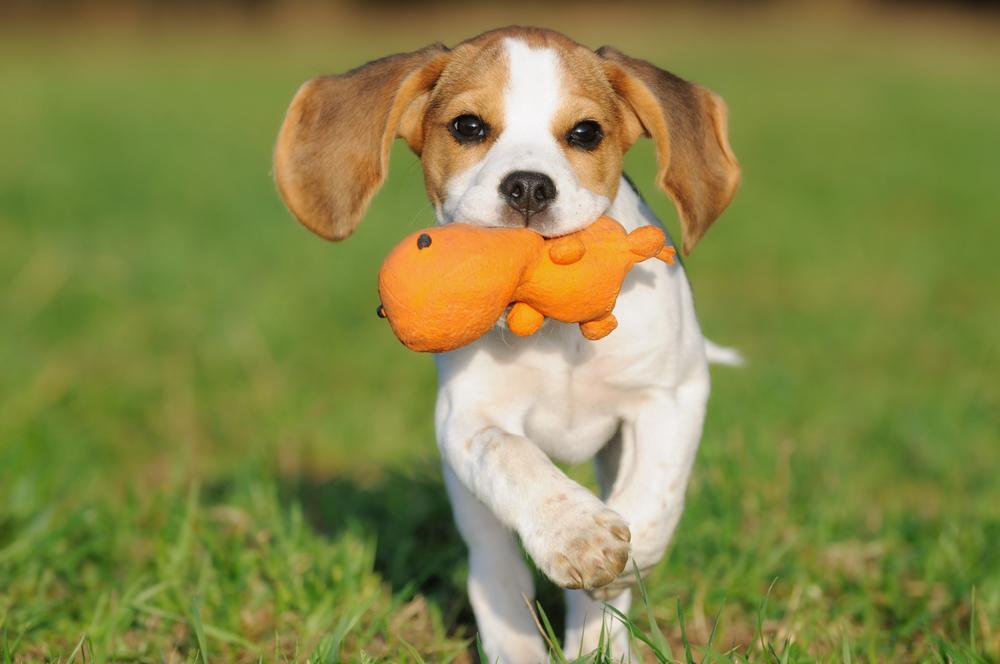 Gerade junge Hunde haben noch einen fast unbändigen Spieltrieb.(#04)