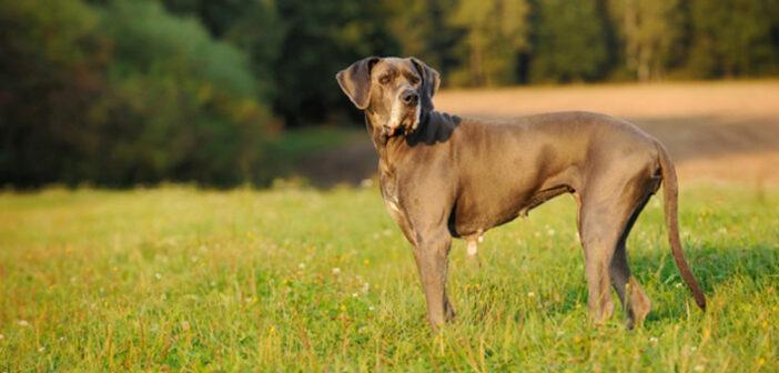 Deutsche Dogge: Wissenswertes und Infos zur Hunderasse