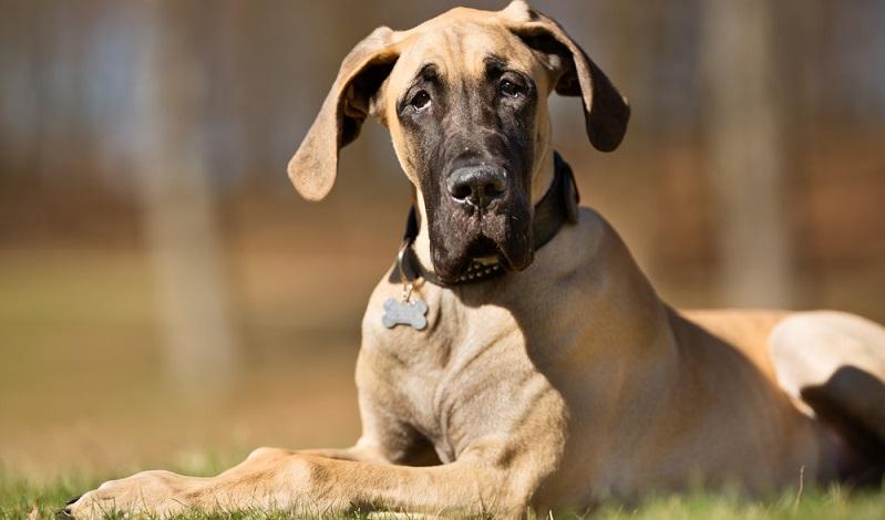 Die heutige Rasse der Deutschen Dogge ist vermutlich aus den Bullen- oder Bärenbeißern hervorgegangen, die selbst wiederum eine Mischung zwischen dem starken Mastiff englischer Prägung und einem schnellen, wendigen Windhund waren. (#01)