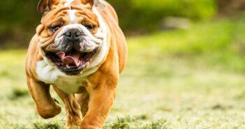 Engliscahe Bulldogge: Herkunft, Namensgebung und Rasseinfos