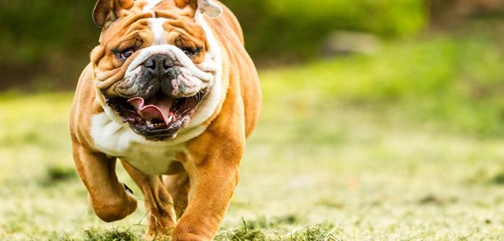 Englische Bulldogge Herkunft Namensgebung Und Rasseinfos