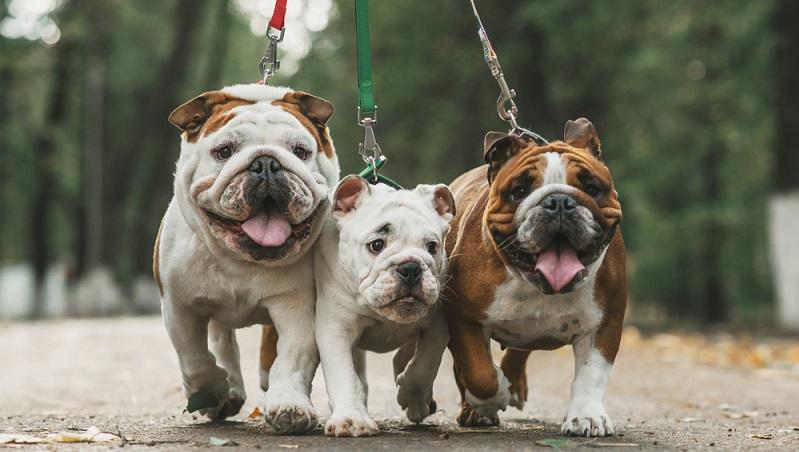"""English Bulldogs haben ein glattes, sehr feines und zugleich dichtes Fell. Das Haarkleid ist von feiner Struktur und daher nicht drahtig, sondern seidig. Entweder einfarbig oder einfarbig mit schwarzer Maske oder schwarzem Fang werden sie """"Smut"""" genannt. (#02)"""