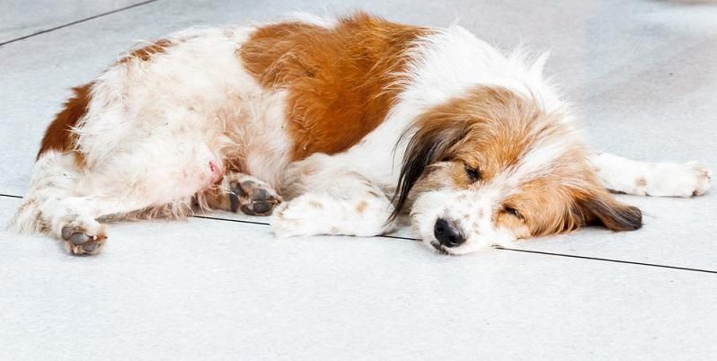 Durch eine solche Diät kommt der Organismus nicht mehr mit den Futterbestandteilen in Kontakt, die für lästige Symptome sorgen. Dennoch bessert sich der Zustand des Hundes oft nur langsam. (#03)