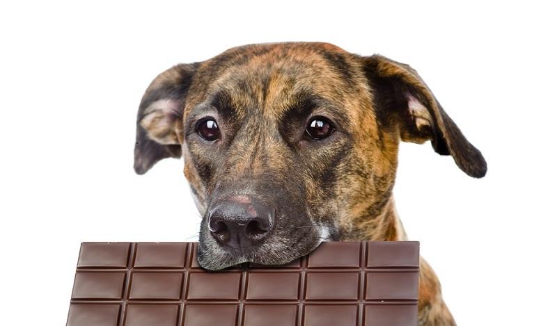Ebenfalls zu den giftigen Lebensmitteln zählen Schokolade und Kakao. Also Vorsicht! (#03)