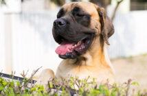 Mastiff vom Großen Löwen: Familienhunde mit Herz und Verstand